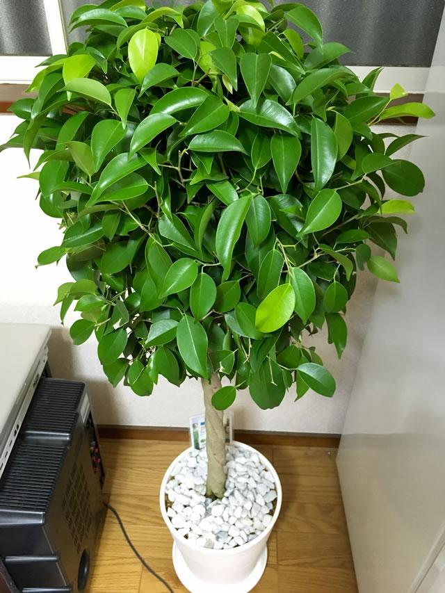 観葉植物を迎え入れる